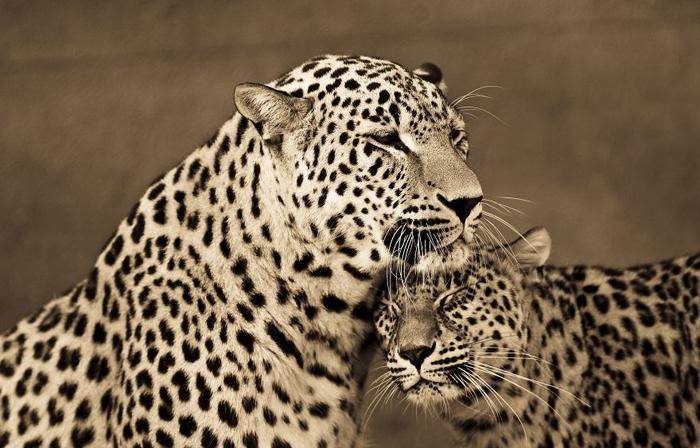 Защита своего ребенка. Автор фото: Goran Anastasovski.