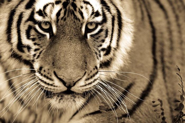 Тигр. Автор фото: Goran Anastasovski.