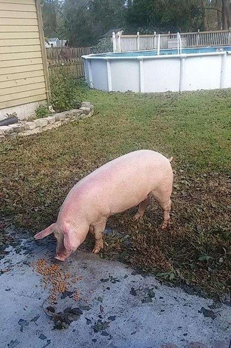 Джош не мог оставить у себя свинку дома, поэтому его семья связалась с приютом для животных.