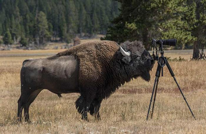 Бизон весом в тонну заинтересовался фотографом.
