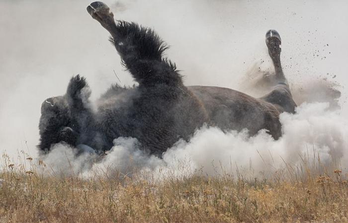 Виллис снимал огромного зверя, купающегося в пыли.
