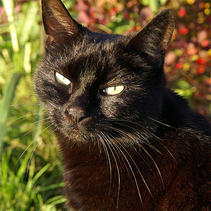 Большинство черных котов имеет желтые глаза.