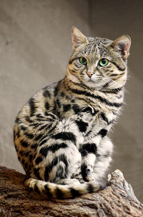 Вес взрослой черноногой кошки обычно составляет полтора килограмма.