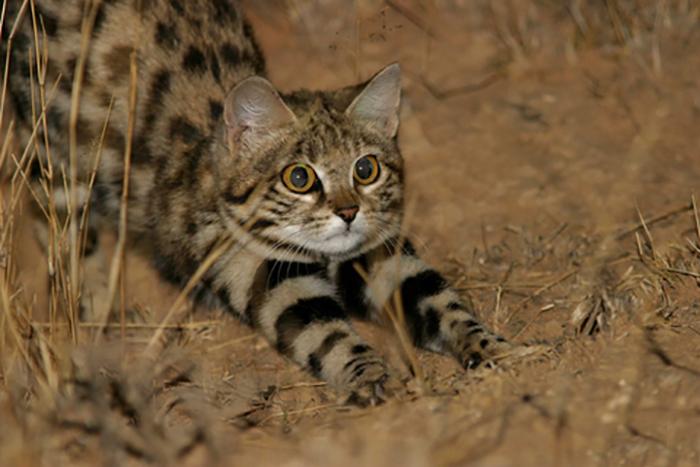 Миниатюрные кошки.