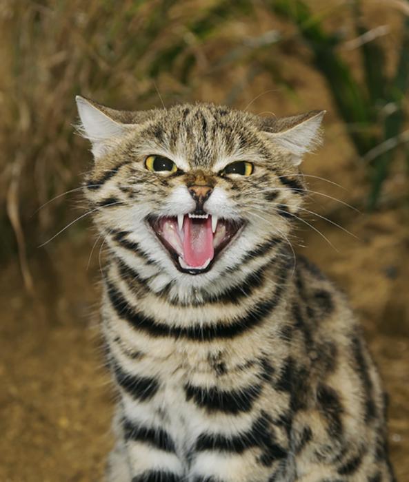 Этот вид кошек ведет преимущественно ночной образ жизни.