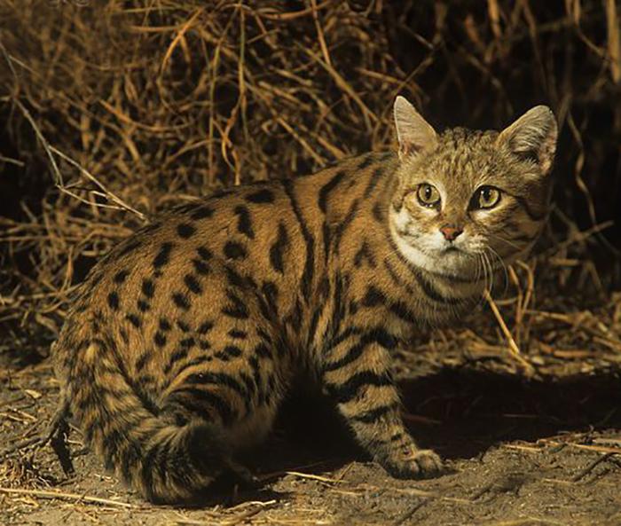 Черноногие кошки плохо умеют забираться на деревья, предпочитая охотиться на земле.