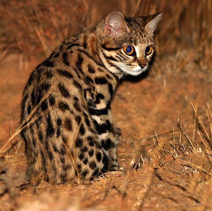 Миниатюрная африканская кошка.