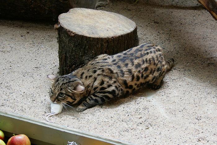 Черноногая кошка в зоопарке с пойманной мышью.