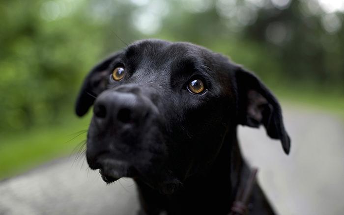 Черная собака.