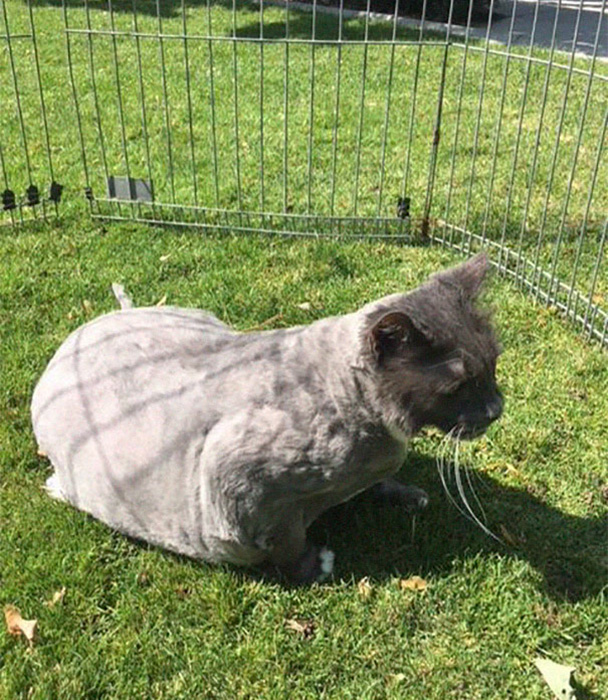 Бобу еще предстоит похудеть, чтобы вести нормальную счастливую кошачью жизнь.