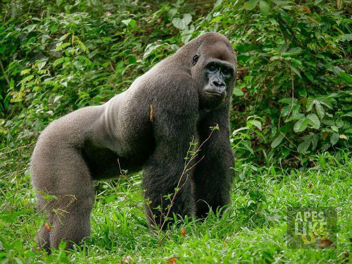 Бобо является крупным доминантным самцом в стае из 7 особей.