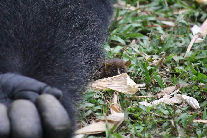 Малыш совершенно не боялся огромной гориллы и не убегал.