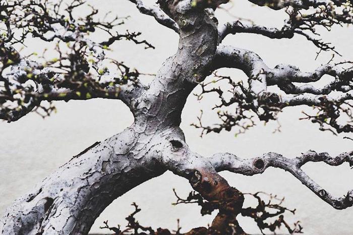 Ствол дерева бонсай. Фото: Stephen Voss.