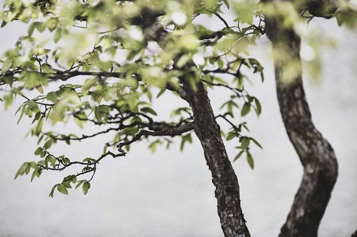 Вяз, выращивается с 1982г.  Фото: Stephen Voss.