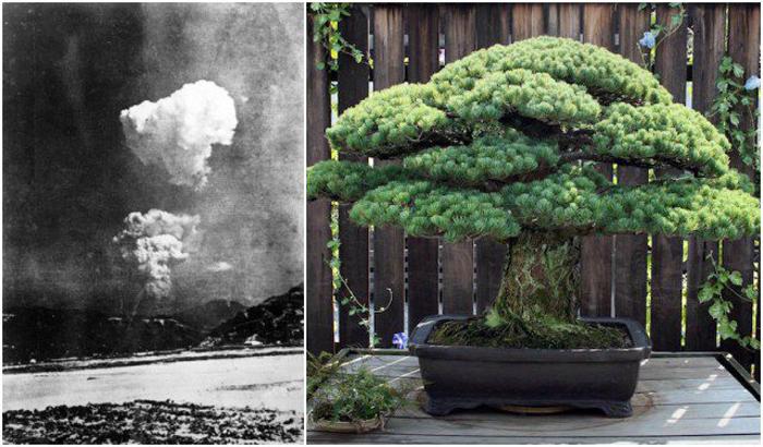 Дерево-бонсай, ставшее свидетелем взрыва в Хиросиме.