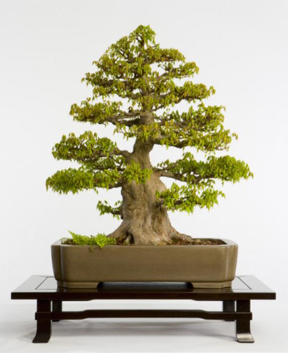 Дерево бонсай из коллекции Национального Дендрария США.