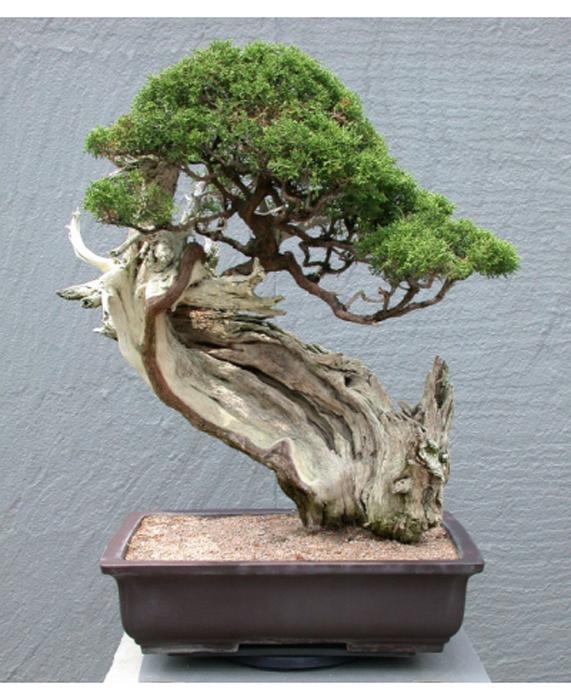Искусство выращивания миниатюрных деревьев.