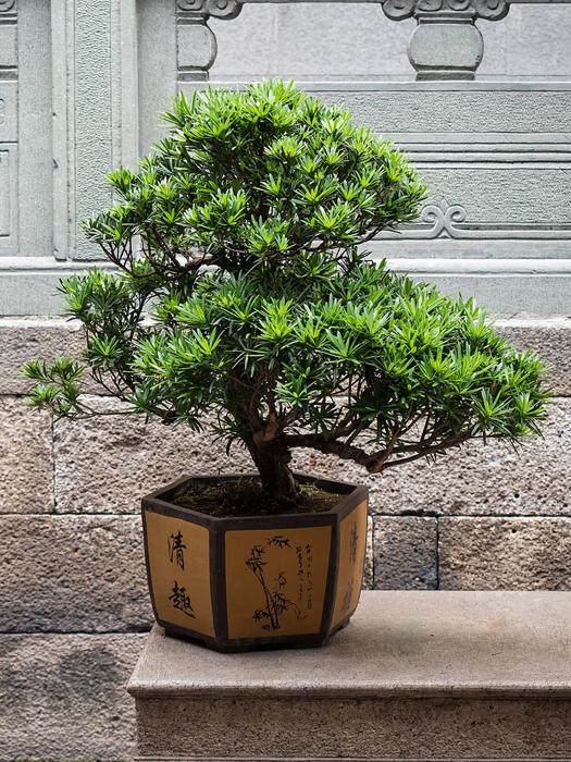 Дерево-бонсай из Китая.