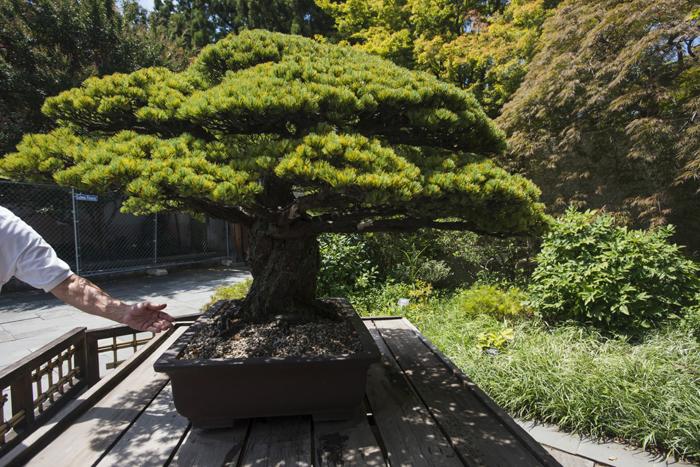 Знаменитая сосна-бонсай, ставшая свидетелем взрыва в Хиросиме.