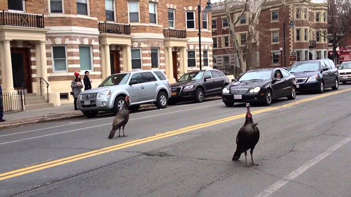 Птицы часто мешают движению на дорогах.
