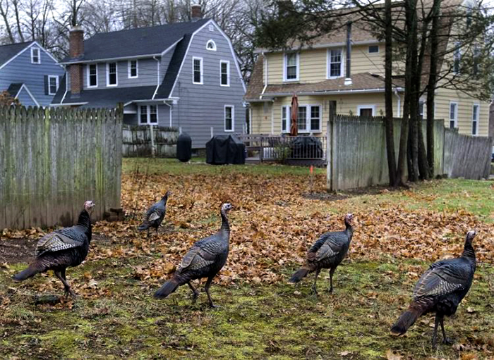 Индейки терроризируют штат Массачусетс.