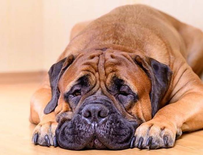 Деформированный череп плоскомордых собак ведет к серьезным проблемам со здоровьем.