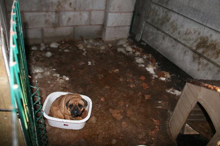 Мопс Фиби в клетке дома у Рики Найта.