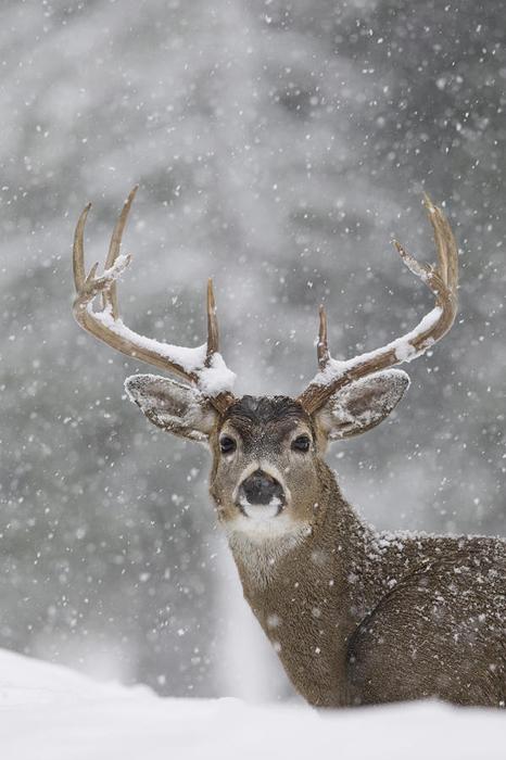 Олень зимой. Фото: Donald M. Jones.