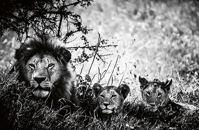 Львы на фотографиях Лорана Бахо.