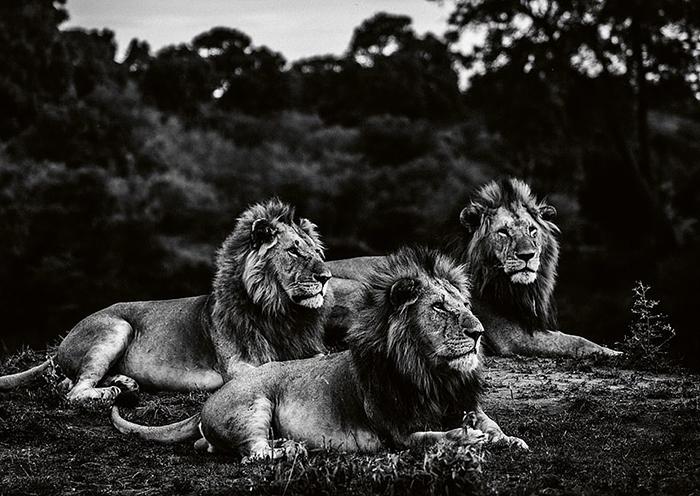 Дикие хищники в объективе французского фотографа.