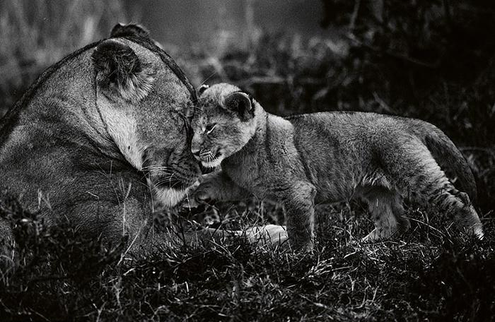 Дикие львы.