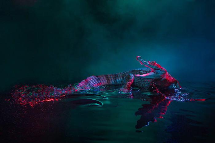 Аллигаторы в студии.  Автор фото: Andrew McGibbon.