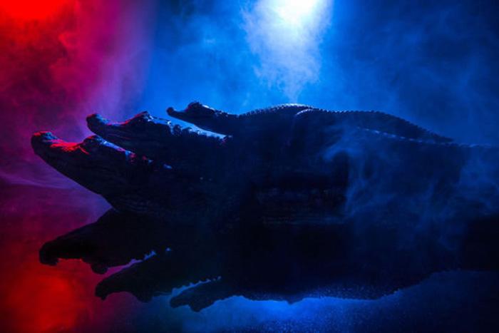 Фантастические фотографии крокодиловых кайманов.
