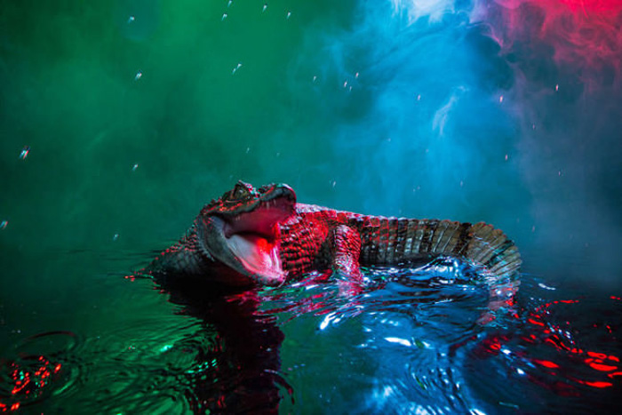 Необычный образ для аллигаторов.  Автор фото: Andrew McGibbon.