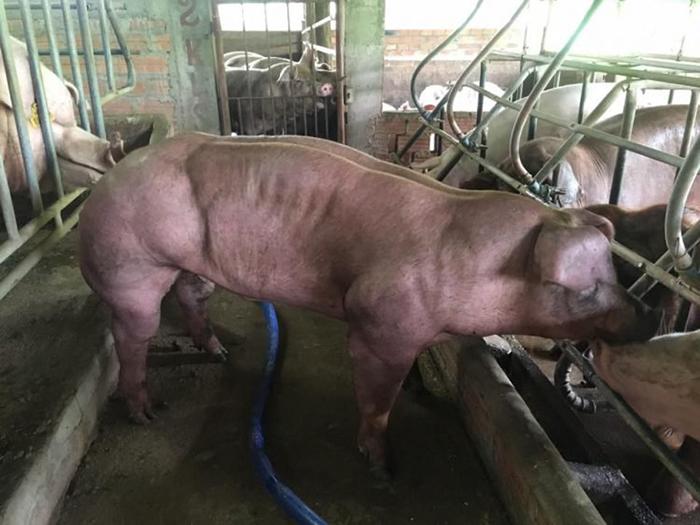 Свинья с фермы Duroc Cambodia.