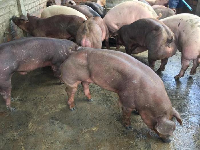 Одни считают, что свинки с фермы Duroc Cambodia напичканы гормонами и стероидами, другие, что здесь применялись генные опыты.