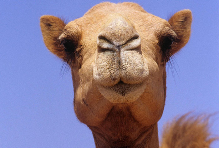 У настоящего красивого верблюда красота должна быть естественной.