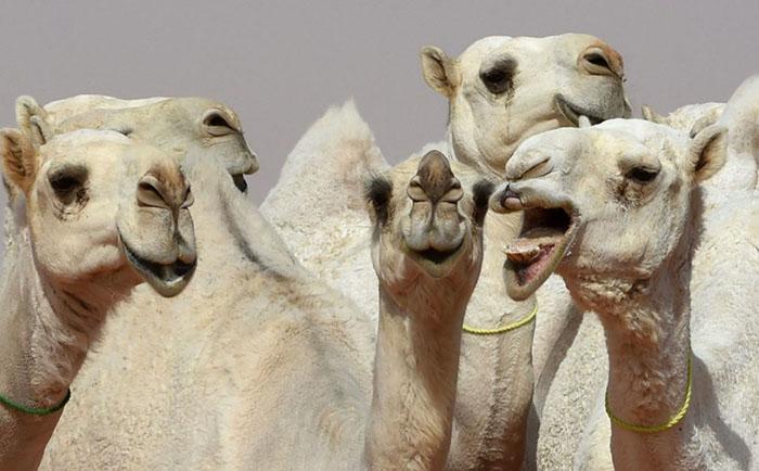 На  King Abdulaziz Camel Festival собираются самые лучшие верблюды с округи.