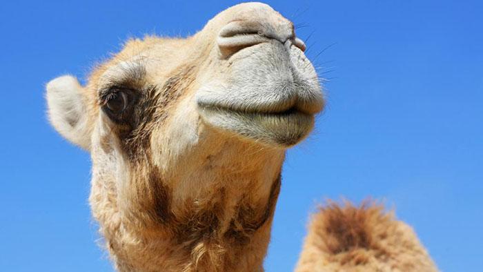 У верблюдов тоже есть конкурсы красоты.