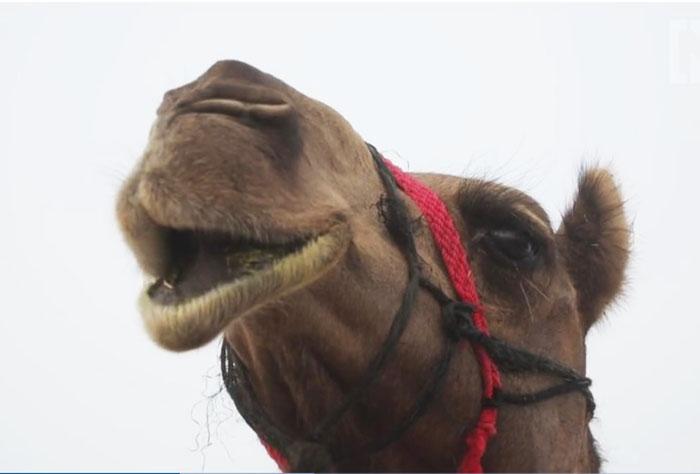 Красота верблюда должна быть естественной.