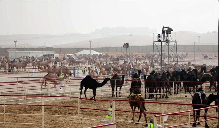 Верблюды на конкурсе в ожидании.