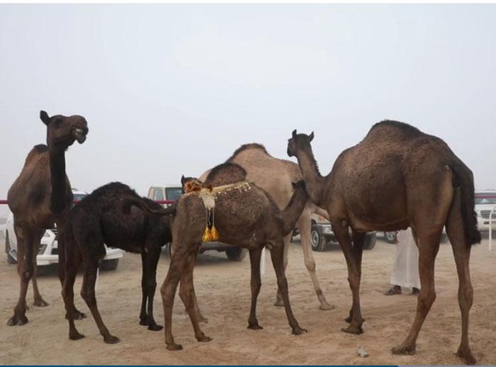 На  King Abdulaziz Camel Festival собирается около 30000 верблюдов.