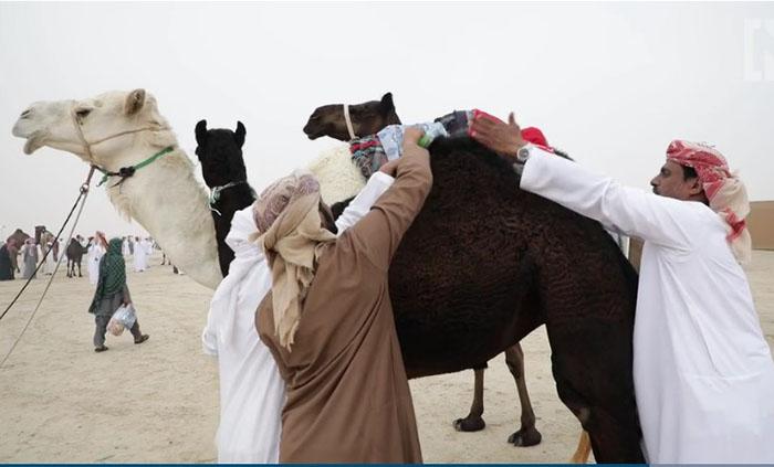 Хозяева пытаются причесать и прихорошить своего верблюда.