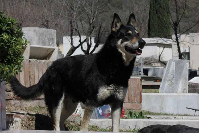 За много лет смотрители кладбища привязались к собаке.