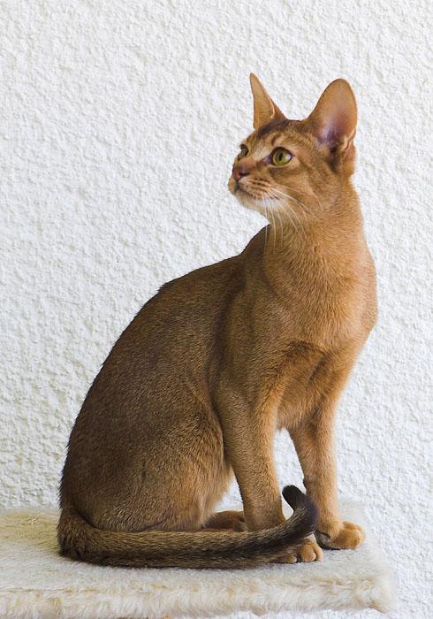 Домашняя абиссинская кошка.