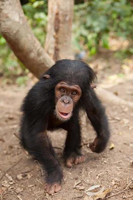 Шимпанзе в приюте.