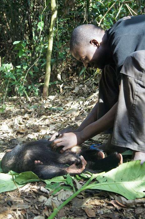 Адаптация новоприбывших обезьян часто занимает несколько недель и даже месяцев.