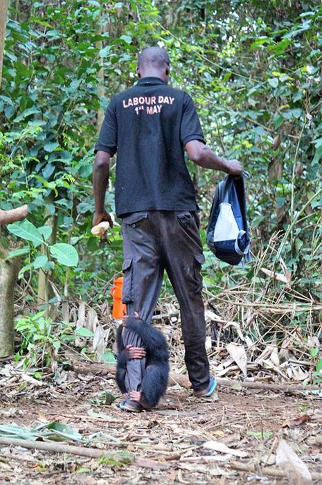 Этот парень является лучшей «мамой» для сотен осиротевших обезьян.