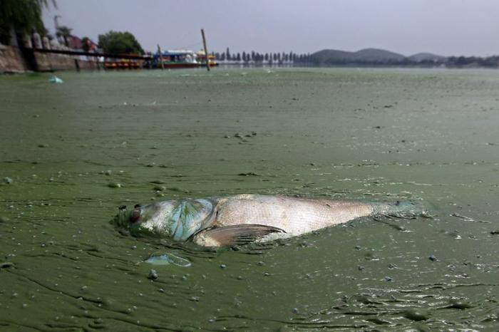 В заиленных водоемах рыба умирает от недостатка кислорода в воде.