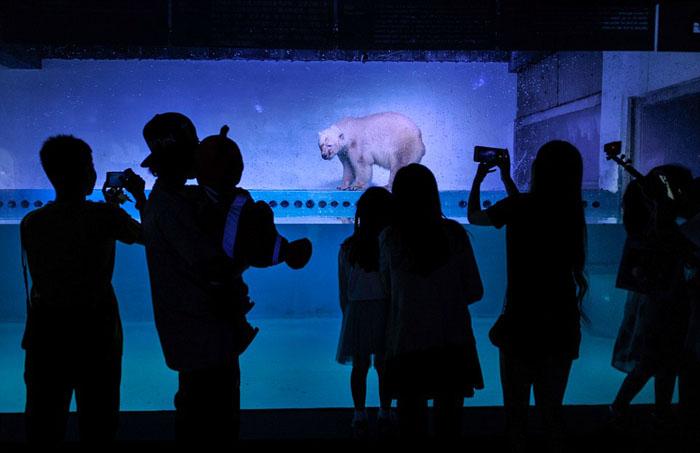 Полярный медведь по имени Пицца в китайском зоопарке.